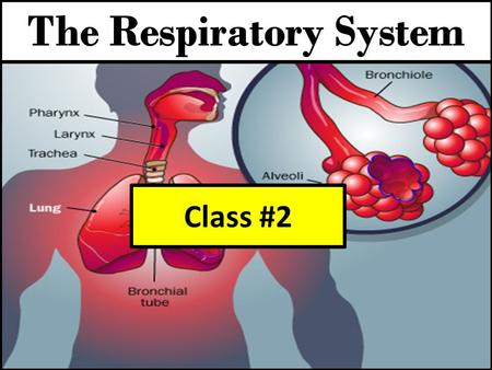 Class #2. Fill in the blanks with the correct response. 1. _________ is the movement of air into and out of the lungs. 2. Breathing enables your ___________.