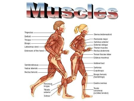 What is important to know about muscles? –Muscle contracts to move bones and body parts. –Muscles pull never push. –Muscles look either striated or smooth: