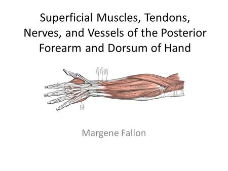 Superficial Muscles, Tendons, Nerves, and Vessels of the Posterior Forearm and Dorsum of Hand Margene Fallon.
