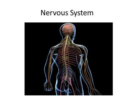 Nervous System. What are the functions of the nervous system? It receives information about what is happening both internal and external stimuli. It directs.