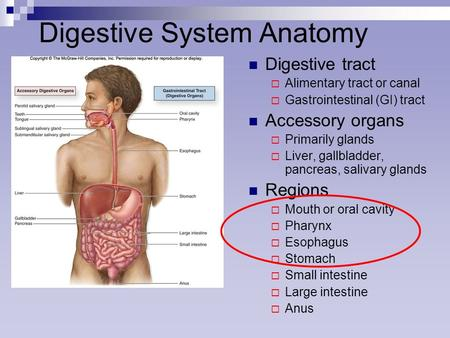 Digestive System Anatomy Digestive tract  Alimentary tract or canal  Gastrointestinal (GI) tract Accessory organs  Primarily glands  Liver, gallbladder,