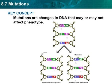 8.7 Mutations KEY CONCEPT Mutations are changes in DNA that may or may not affect phenotype.