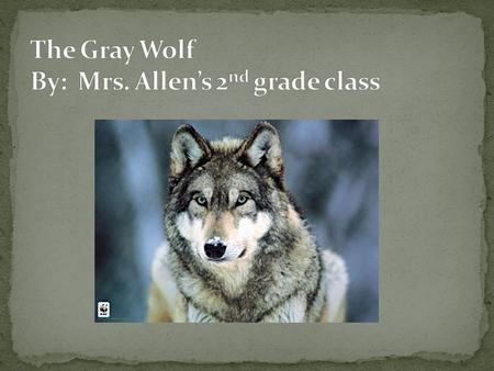 The gray wolf is a mammal. A gray wolf's thick fur can be a combination gray, brown, white, and black. Gray wolves are 3 to 5 feet long. Their tails are.