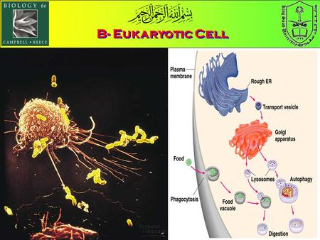 B- Eukaryotic Cell. 3- The Endomembrane System a)The endoplasmic reticulum الشبكة الإندوبلازمية manufacturers membranes and performs many other biosynthetic.