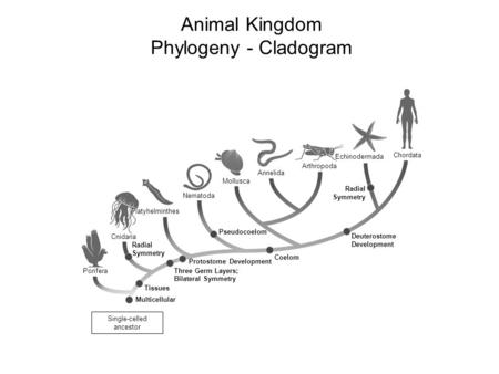 Animal Kingdom Phylogeny - Cladogram