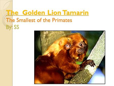 The Golden Lion Tamarin The Smallest of the Primates By: SS.