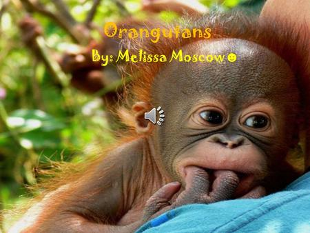 Orangutans By: Melissa Moscow ☻ Adult Orangutans are about 5 feet 1.5 meters tall. Orangutans have long strong arms to swing between branches. Males.