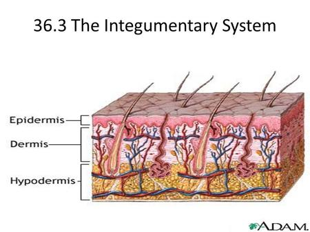 36.3 The Integumentary System. Epidermis Layers of cells that completely encloses vascular tissue.