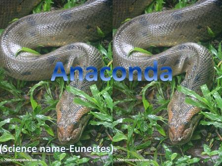 Anaconda type of boa constrictor, which includes one of the world's largest snake in South America. This type includes four different species we talk.