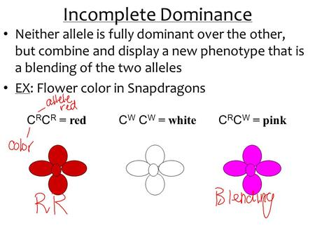 Incomplete Dominance Neither allele is fully dominant over the other, but combine and display a new phenotype that is a blending of the two alleles EX: