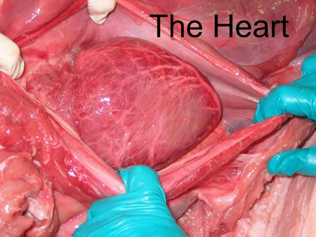 The Heart. ATRIAL SYSTOLE Prior to atrial systole, blood has been flowing passively from the atrium into the ventricle through the open AV valve. During.