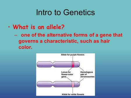 Intro to Genetics What is an allele? –one of the alternative forms of a gene that governs a characteristic, such as hair color.