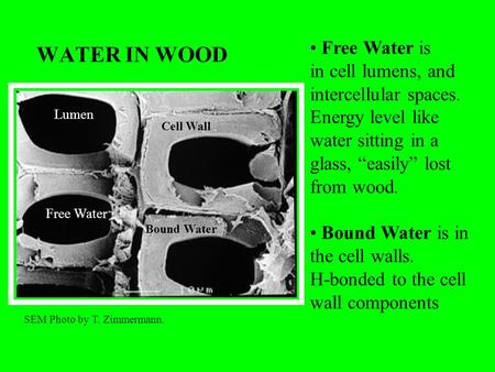 WATER IN WOOD Free Water is in cell lumens, and intercellular spaces.