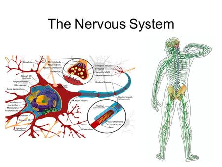 The Nervous System. Nervous System Nervous System: Collects information, processes, and responds to internal and external environment.