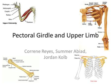 Pectoral Girdle and Upper Limb Correne Reyes, Summer Abiad, Jordan Kolb.