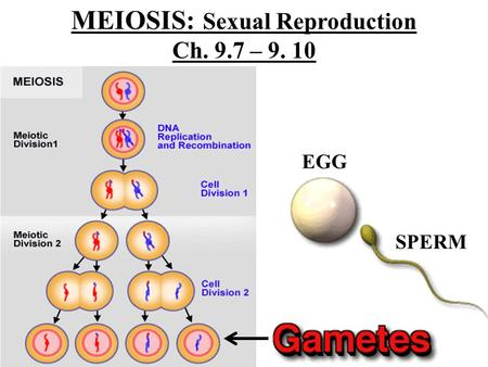 MEIOSIS: Sexual Reproduction Ch. 9.7 – 9. 10 EGG SPERM.