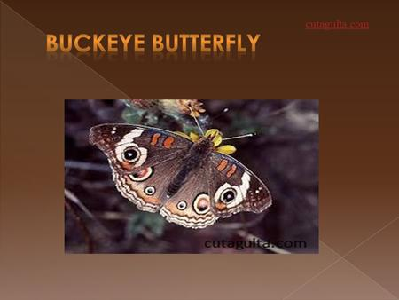 Cutagulta.com.  The buckeye is a butterfly which belongs to the family of NYMPHALIDAE or BRUSH-FOOTED butterflies.  This butterfly is found in southern.