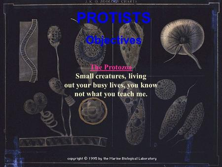 PROTISTS Objectives The Protozoa The Protozoa Small creatures, living out your busy lives, you know not what you teach me.