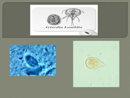Giardia lamblia is a flagellated protozoan parasite that colonises and reproduces in the small intestine, causing giardiasis. The giardia parasite attaches.