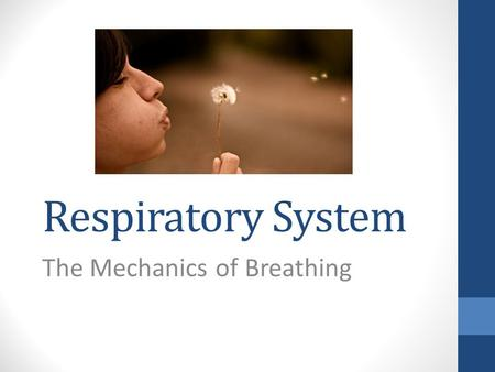 Respiratory System The Mechanics of Breathing. Breathing…. --also called VENTILATION --movement of air outside the body into the bronchial tree and alveoli.
