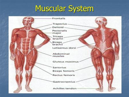 Muscular System. THE MUSCULAR SYSTEM COMPOSED OF MUSCLE TISSUE SPECIALIZED TO CONTRACT TO PRODUCE MOVEMENT WHEN STIMULATED BY NERVOUS SYSTEM.