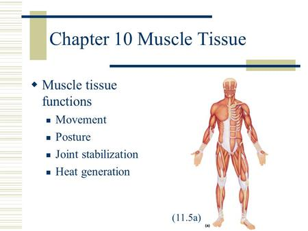 Chapter 10 Muscle Tissue  Muscle tissue functions Movement Posture Joint stabilization Heat generation (11.5a)