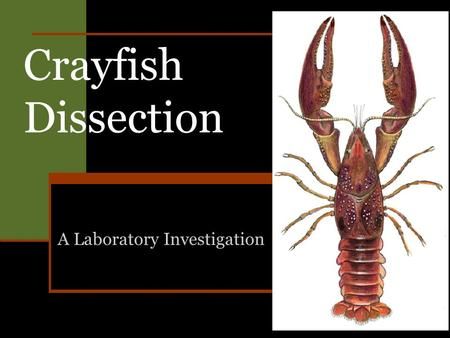 Crayfish Dissection A Laboratory Investigation. Part 1— External Anatomy of a Crayfish 1. Place a crayfish on its ventral side in a dissection tray. 2.