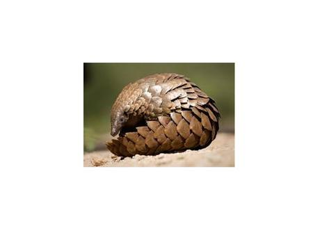 "Pangolins, often called ""scaly anteaters,"" are covered in tough, overlapping scales. These burrowing mammals eat ants and termites using an extraordinarily."