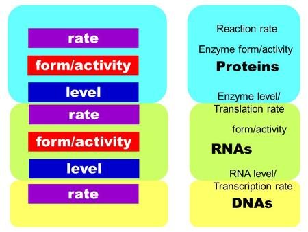RNA level/ Transcription rate form/activity Enzyme level/ Translation rate Enzyme form/activity Reaction rate Proteins RNAs DNAs level form/activity rate.