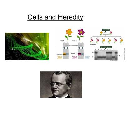 Cells and Heredity. Engagement: Making Baby Faces widow's peak cleft chin dimples.