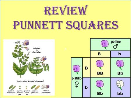 A REVIEW PUNNETT SQUARES. How many alleles are needed to represent a trait? 2.