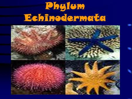 Phylum Echinodermata. ECHINODERMS Invertebrates Inhabit marine environments ranging from coastal shallow waters to ocean trenches more than 10,000 m deep.