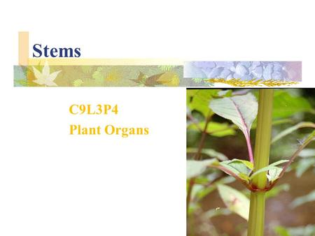 Stems C9L3P4 Plant Organs. The part of a plant that connects its roots to its leaves is the stem. Stems support branches and leaves, and their vascular.