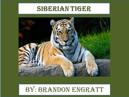 Siberian Tiger By : Brandon Engratt. Animal Facts The Siberian tigers are black, orange and white. A pic showing your animal. The Siberian tiger runs.