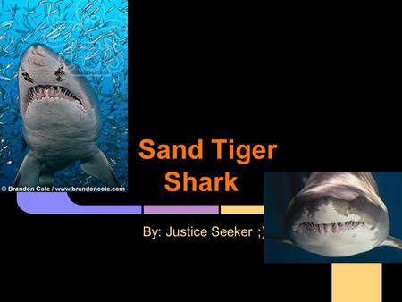 Sand Tiger Shark By: Justice Seeker ;). Kingdom - Animalia Phylum - Chordata Class - Chondrichthyes Carcharias taurus.