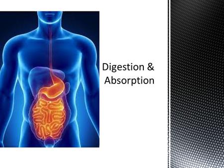 The contraction of circular and longitudinal muscle layers of the small intestine mixes the food with enzymes and moves it along the gut  The pancreas.