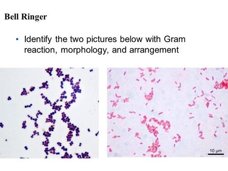 Bell Ringer Identify the two pictures below with Gram reaction, morphology, and arrangement.