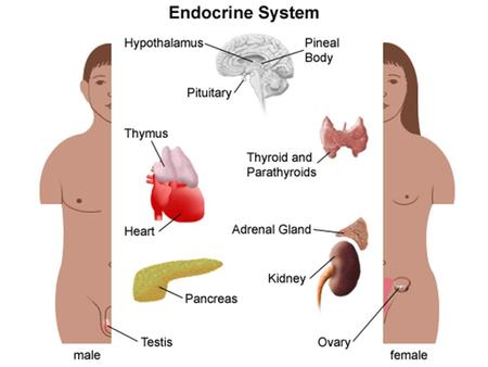 Endocrine System Overview Glands: Major organs of the endocrine system Glands make hormones – Hormones: chemical signals Hormones move through bloodstream.