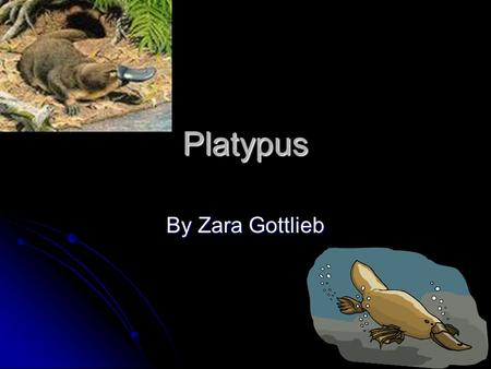 Platypus By Zara Gottlieb Introduction Did you ever know that platypuses are the only mammal to lay eggs. You are going to learn about this amazing platypus.