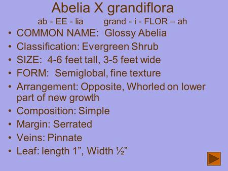 Abelia X grandiflora ab - EE - lia grand - i - FLOR – ah COMMON NAME: Glossy Abelia Classification: Evergreen Shrub SIZE: 4-6 feet tall, 3-5 feet wide.