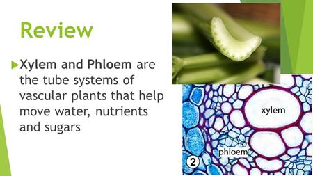 Review  Xylem and Phloem are the tube systems of vascular plants that help move water, nutrients and sugars.