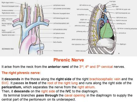 Phrenic Nerve It arise from the neck from the anterior rami of the 3 rd ; 4 th and 5 th cervical nerves. The right phrenic nerve: It descends in the thorax.