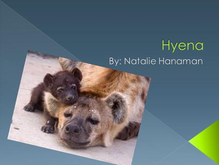  A hyena is a mammal.  My animal is a mammal because they give birth to live young.