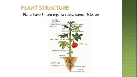  Plants have 3 main organs: roots, stems, & leaves.