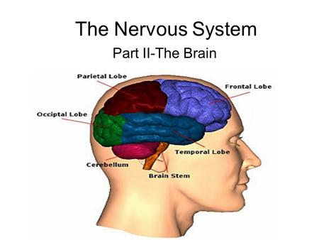 The Nervous System Part II-The Brain. I. Central Nervous System: The Brain Cerebrum –Largest part –Sensory & motor functions –Higher mental functions.