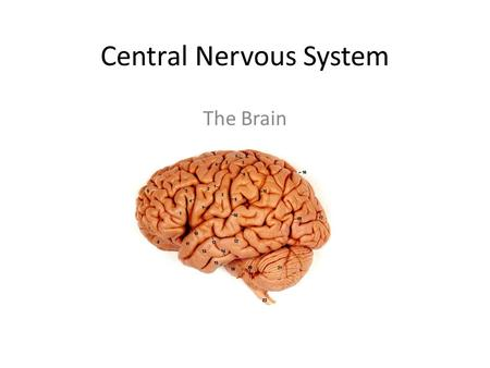 Central Nervous System The Brain. 1. Somatic sensory area.