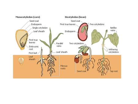 Monocotyledons (monocots) and dicotyledons (dicots) make up the two large groups of flowering plants, differentiated by their seed structures. Monocot.