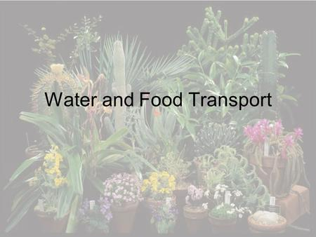 Water and Food Transport. Xylem and Phloem Xylem transport water and minerals from the soil to all parts of the plant Phloem transport sugars made in.