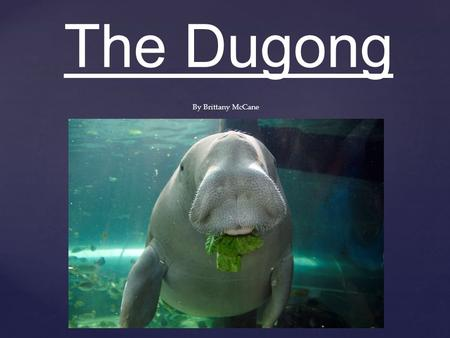 The Dugong By Brittany McCane. Classification Kingdom: Animalia Phylum: Chordata Class: Mammalia Order: Sirenia Family: Dugongidae Subfamily: Dugonginae.