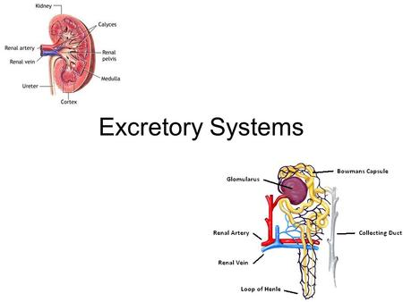 Excretory Systems. Excretion Secrete (get rid of) waste from the body –Way of maintaining homeostasis (balance) in the body HOMEOSTASISHOMEOSTASIS Waste.